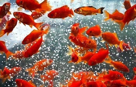 درآمد حداقل ۲۰۰میلیارد تومانی ماهی قرمز در شب عید