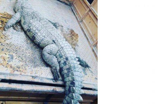 کشف تمساح ۲ متری از اروند رود