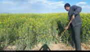 استقبال بی نظیر کشاورزان بهبهانی در زمینه کاشت کلزا