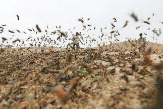 هجوم ملخ ها به مزارع هشت شهر خوزستان