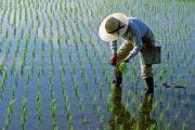ممنوعیت کشت برنج در حوضههای مارون – جراحی و زهره – هندیجان